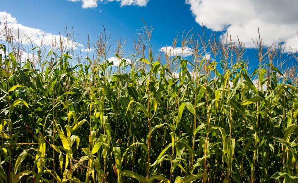 Черноморский предприниматель самовольно засеял земли вуза подсолнечником и кукурузой