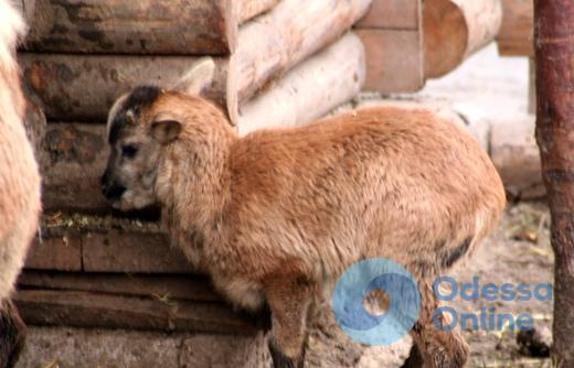 В Одесском зоопарке родились камерунские овцы и антилопа