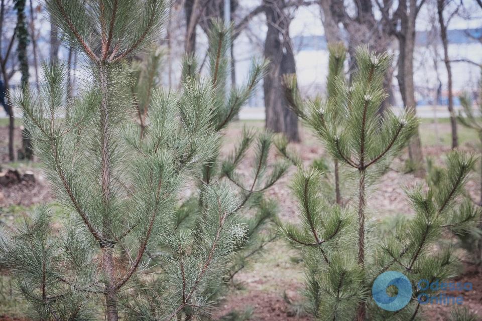 В парке Шевченко высадили сосны
