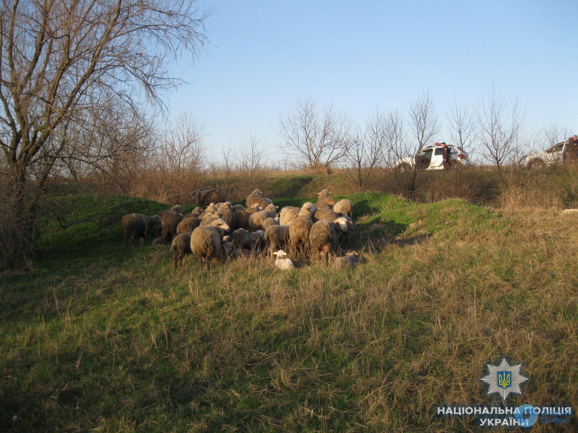 В Одесской области угнали стадо овец