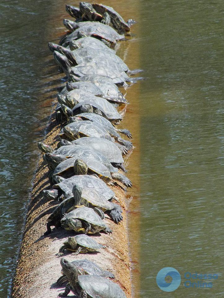 Таки весна: в парке Победы сотня красноухих черепах вылезла погреться
