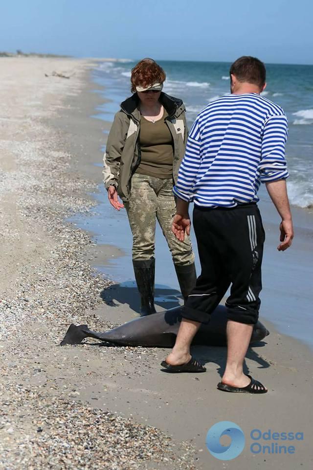 В «Тузловских лиманах» нашли погибшего дельфина