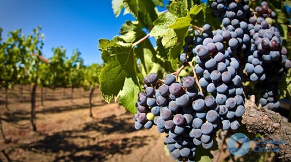 В Одесской области заработает реестр виноградников