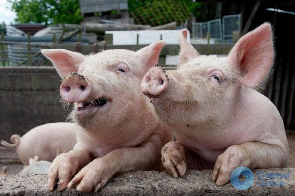В одном из сел Одесской области — новая вспышка свиной чумы (обновлено)