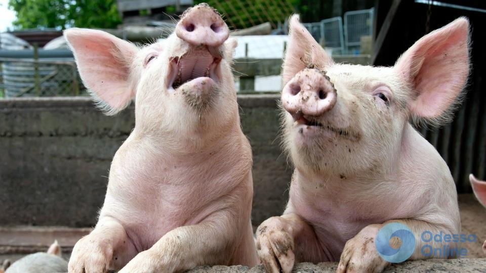 Чуму свиней обнаружили в Овидиопольском районе: введен карантин