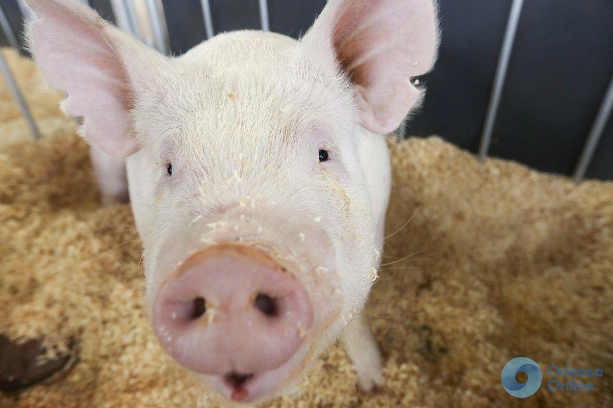 Чума свиней: в Килийском районе введен карантин