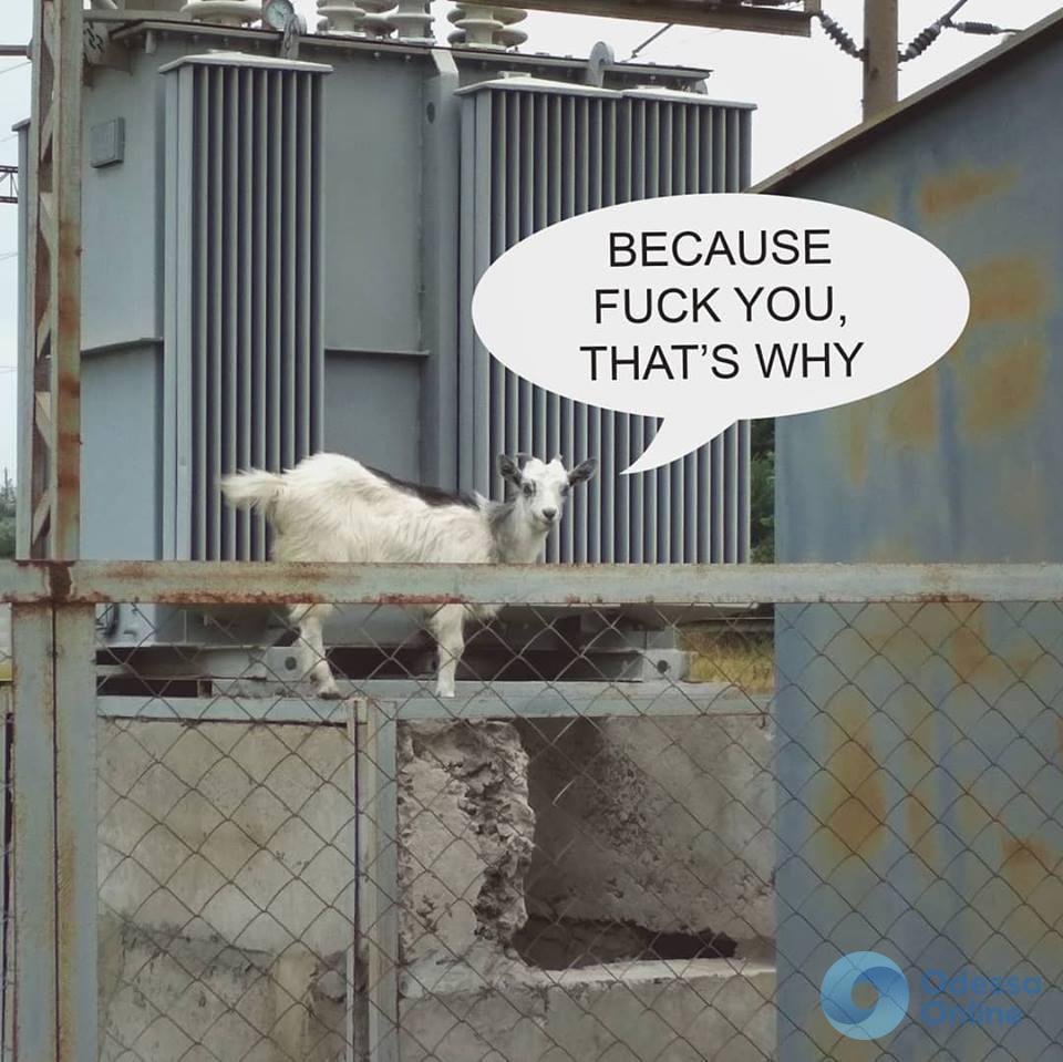 Самые бесстрашные козы живут на курорте под Одессой (фотофакт)