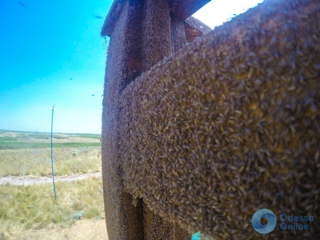 Одесская область: в НПП «Тузловские лиманы» появились зеленые комары-звонцы