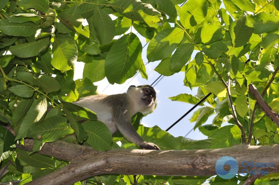 Под Одессой из частного зоопарка сбежали 9 обезьян (фото)