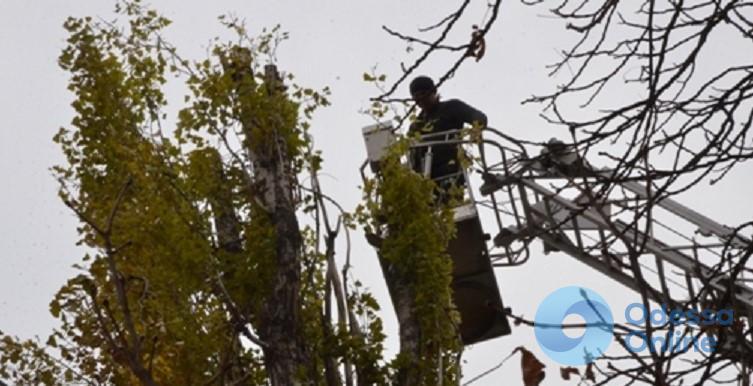 Осенью во дворах одесских школ начнут обрезку тополей