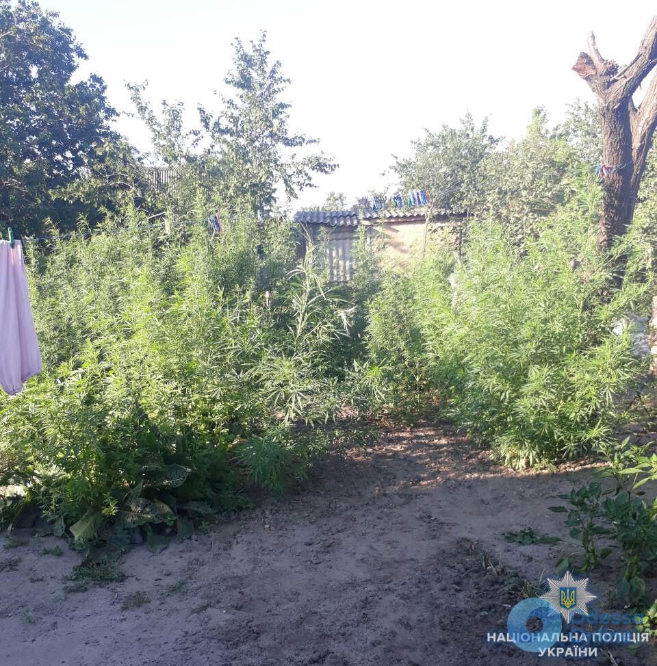 Жительница Одесской области вырастила на огороде 200 кустов конопли
