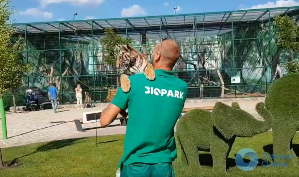 Уставший и измученный: в одесском биопарке 2-месячного тигренка заставляют часами фотографироваться с посетителями