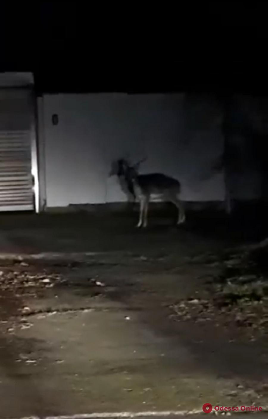 Под Одессой из частного зоопарка сбежал олень (видео)