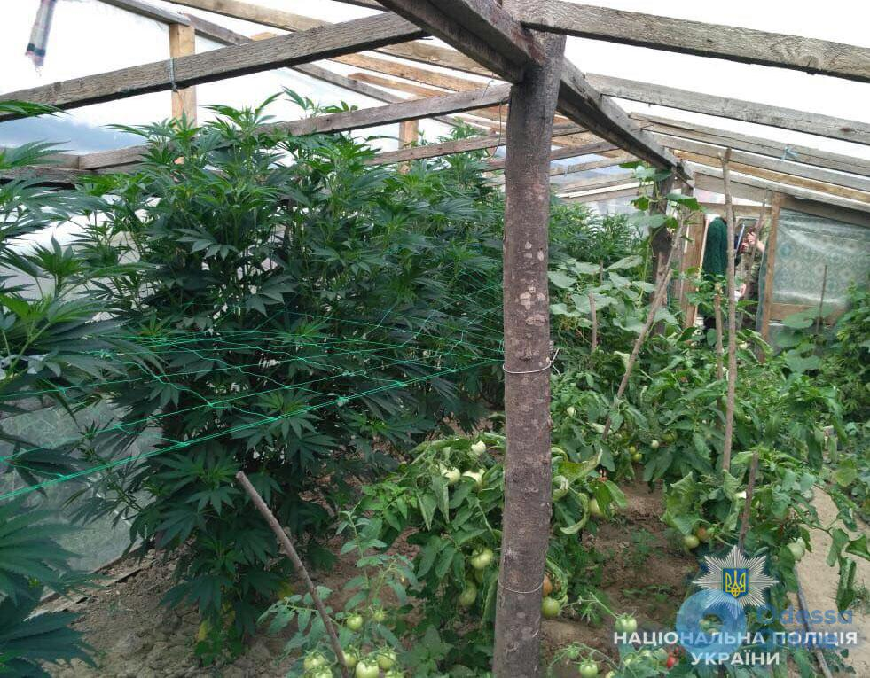 В Одесской области разоблачили очередного наркоагрария