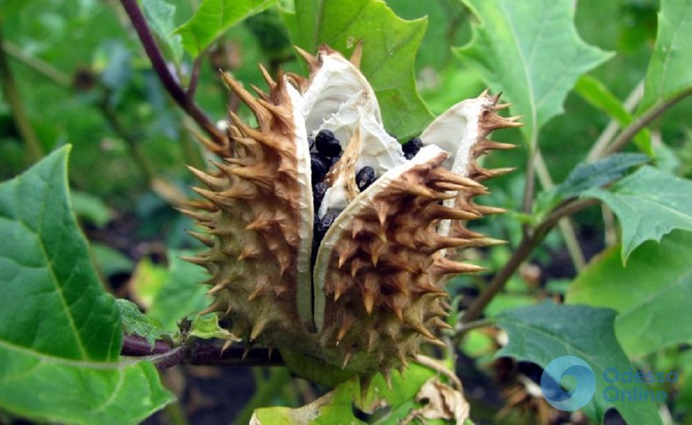 В Измаиле подросток отравился семенами дурмана