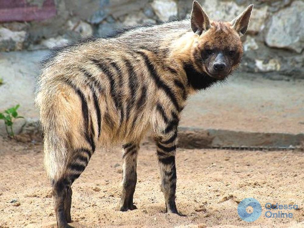 В Одесском зоопарке поселилась еще одна сирийская гиена