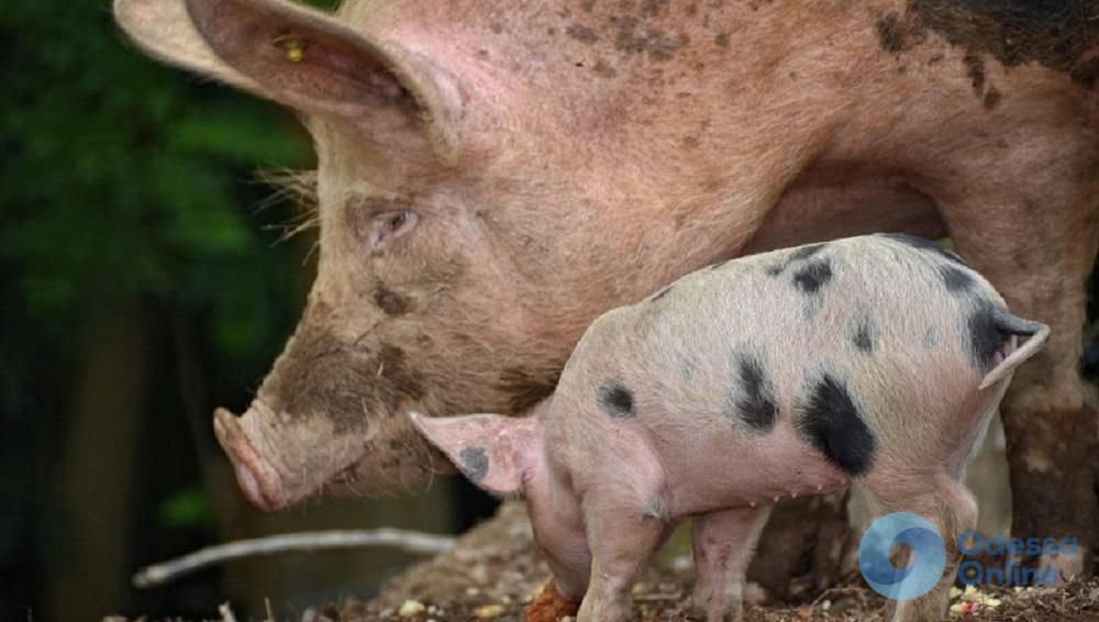 Одесская область: чума свиней добралась до Килии
