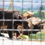 медведь зоопарк