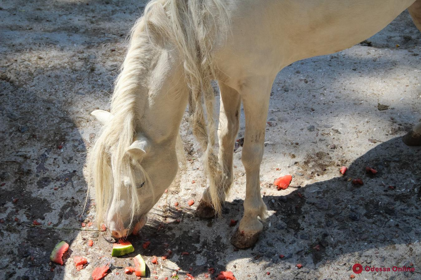 Одесский зоопарк: ковбойская вечеринка, кормление лошадей и море позитива (фото)