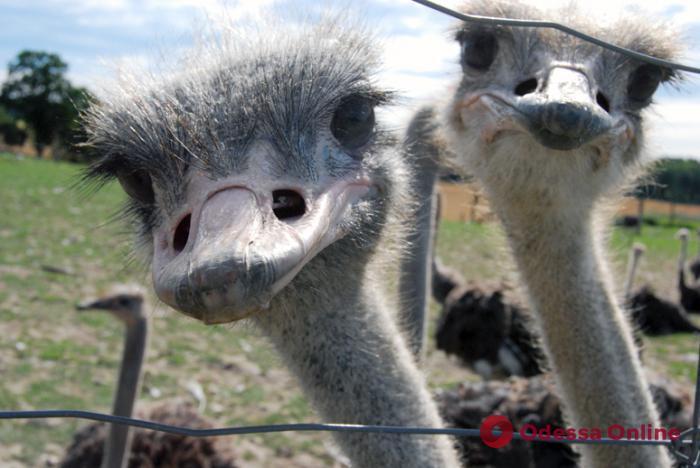Любовь и страусы: для обитателя одесского зоопарка везут еще одну подругу