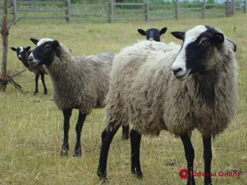 Спасенных овец доставили в Одесскую область (видео)