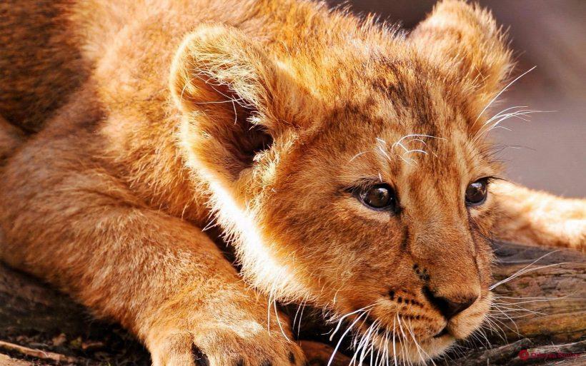 В Одессе по тротуару гулял одинокий львенок