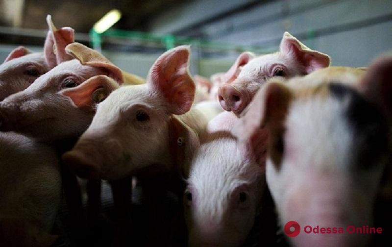 Чума свиней: жителям юга Одесской области возместят убытки
