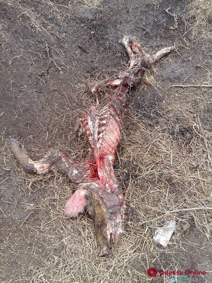 В «Тузловских лиманах» обнаружили скотомогильник