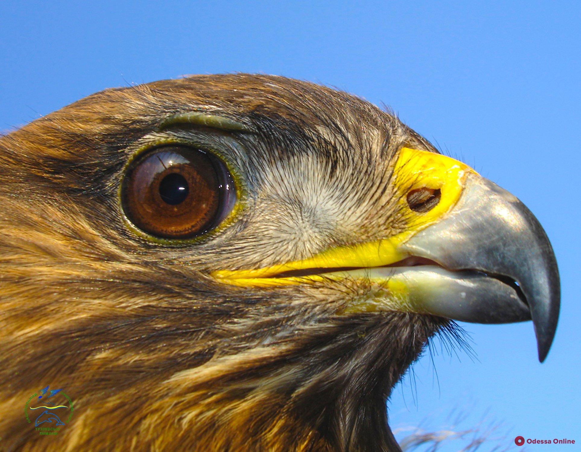 Никогда не сможет летать: в Одесской области спасали хищную птицу