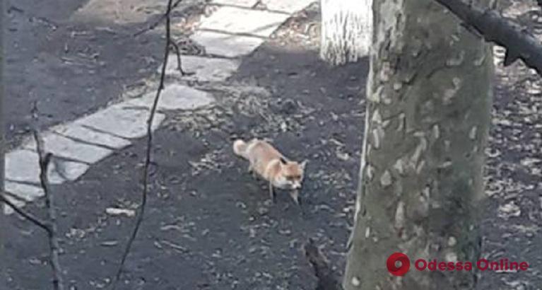 По Одессе гуляет лиса (фотофакт, обновлено)