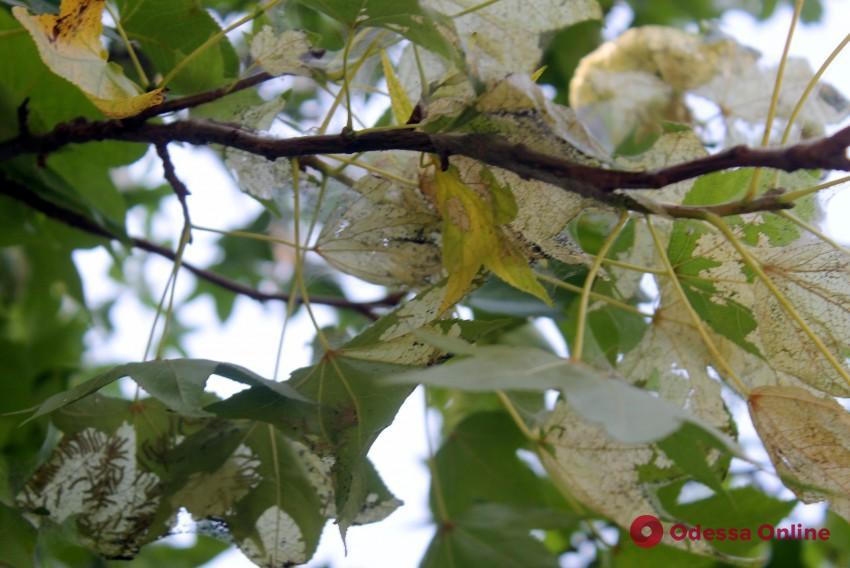 В Одессе испытают новые средства защиты деревьев от вредителей