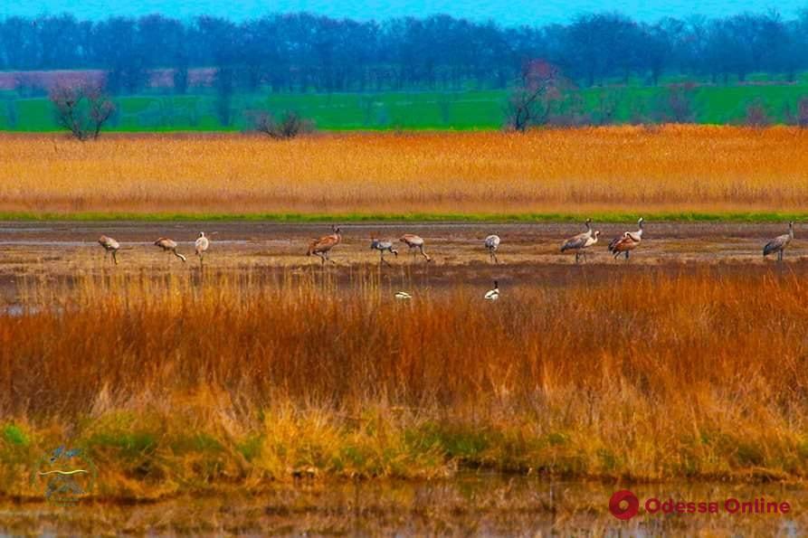 В Одесскую область прилетели серые журавли