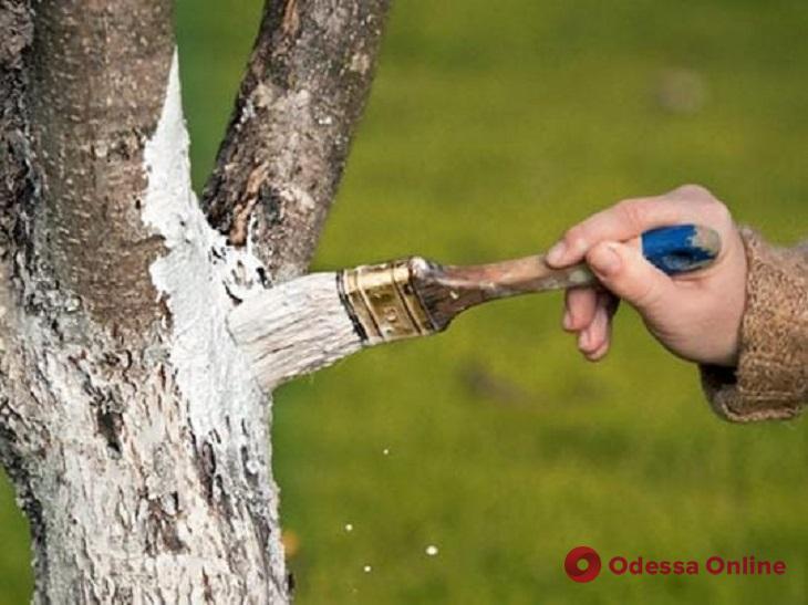 Одесситов будут штрафовать за побелку деревьев