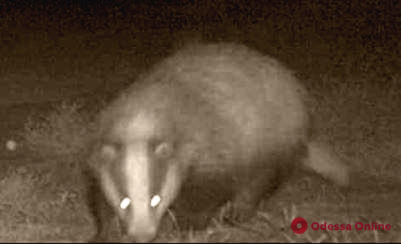 Необычный гость попал в объектив ночных фотокамер «Тузловских лиманов»