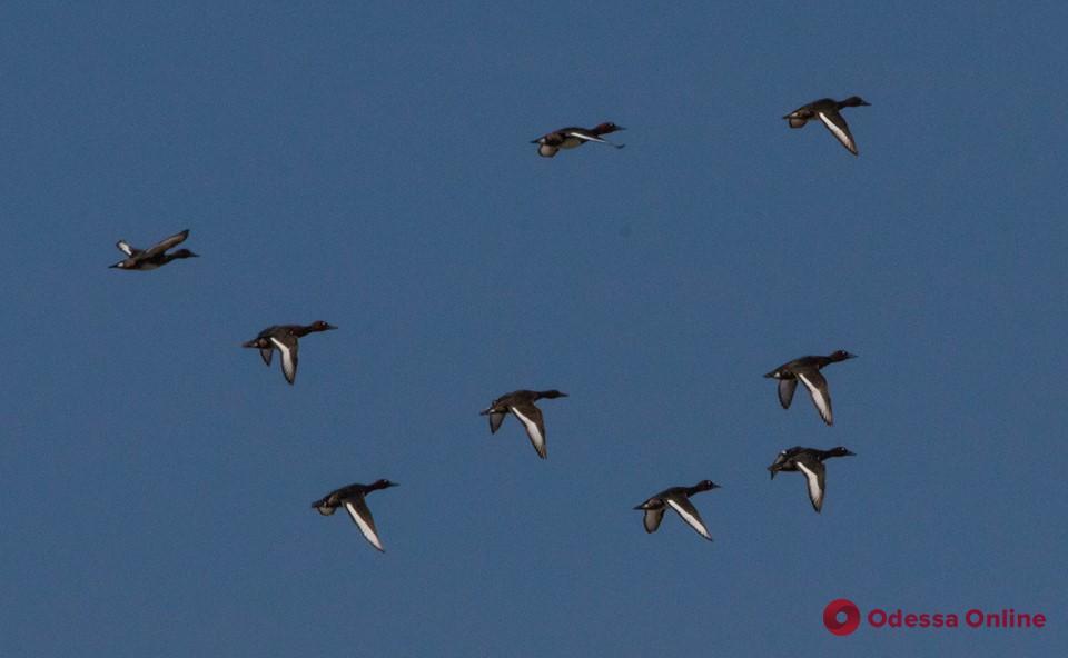 В «Тузловские лиманы» прилетела стая редких птиц