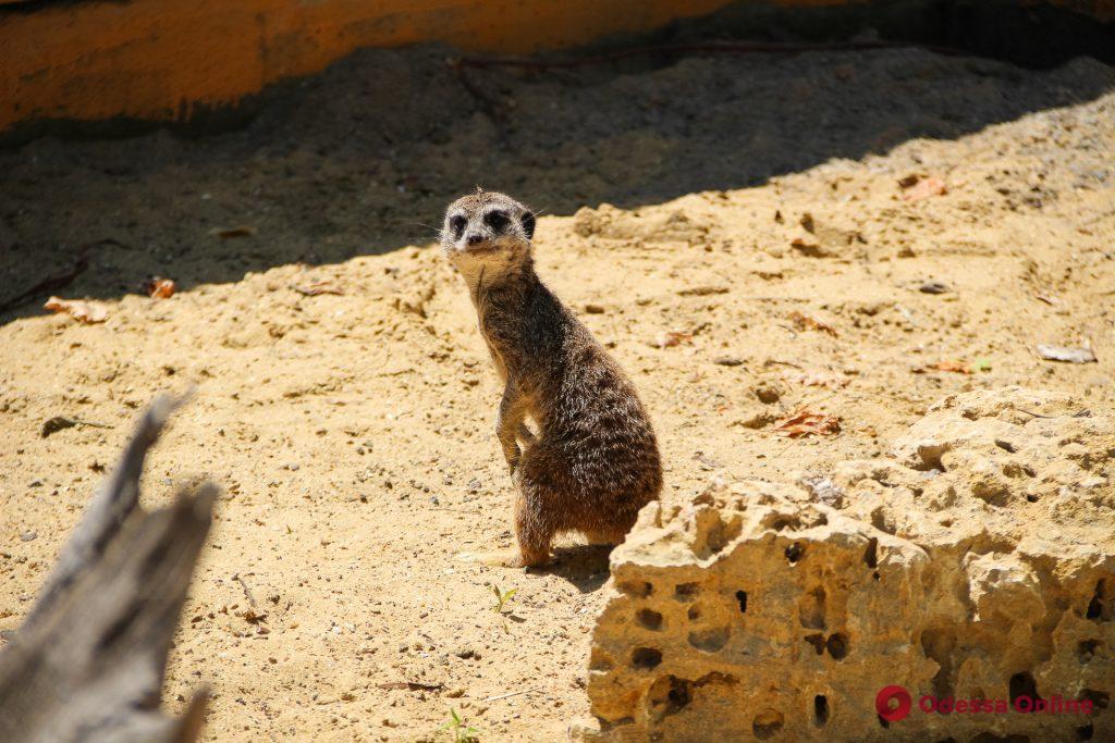 В Одесском зоопарке сурикаты отмечали новоселье