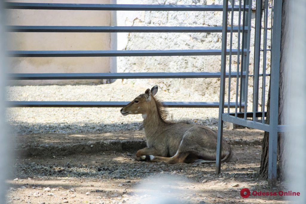 Верблюд, носухи и антилопы нильгау: в Одесском зоопарке — пополнение (фоторепортаж)