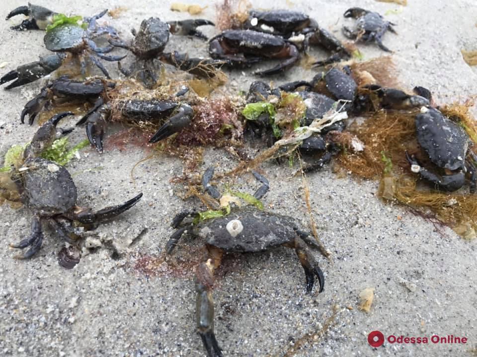 На одесский пляж выбросило десятки живых крабов (фотофакт)