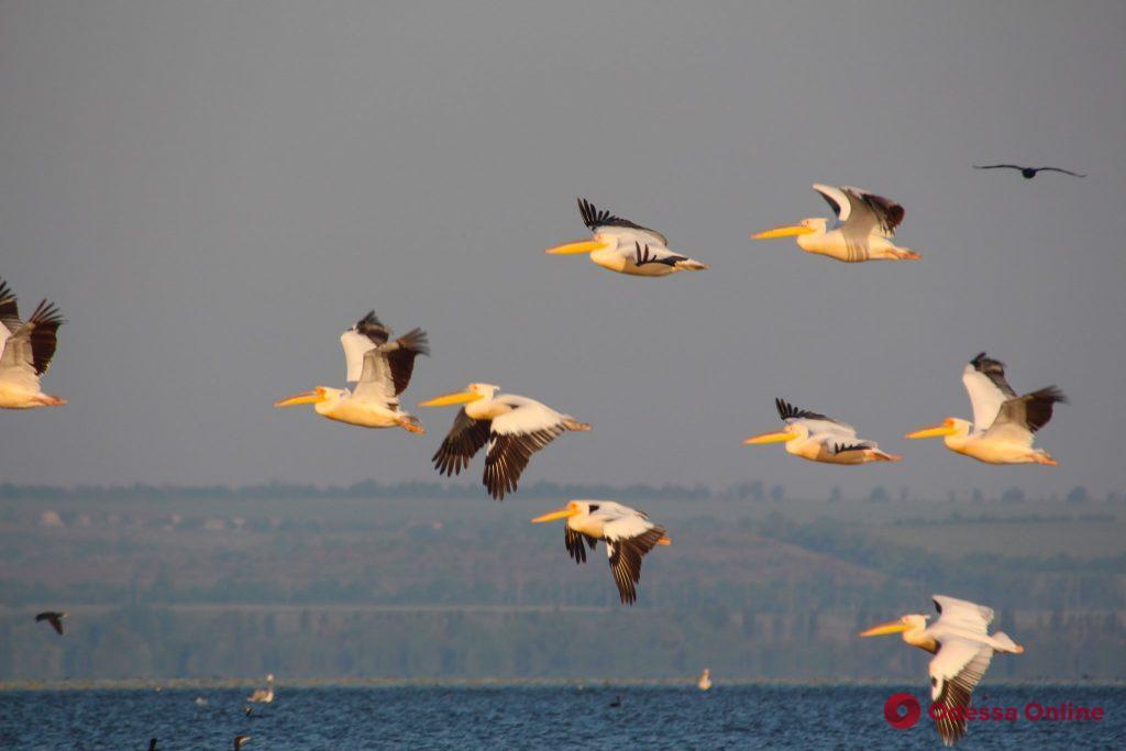 На Днестровском лимане замечены более 3 тысяч пеликанов (фото)