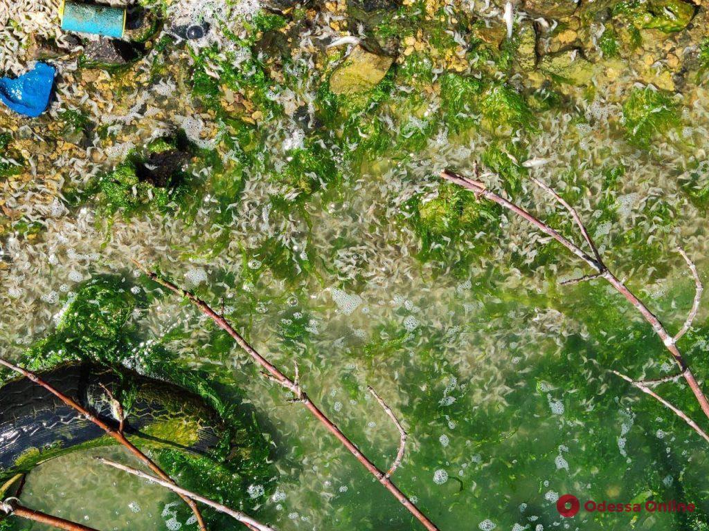 На Хаджибейском лимане массовый мор рыбы