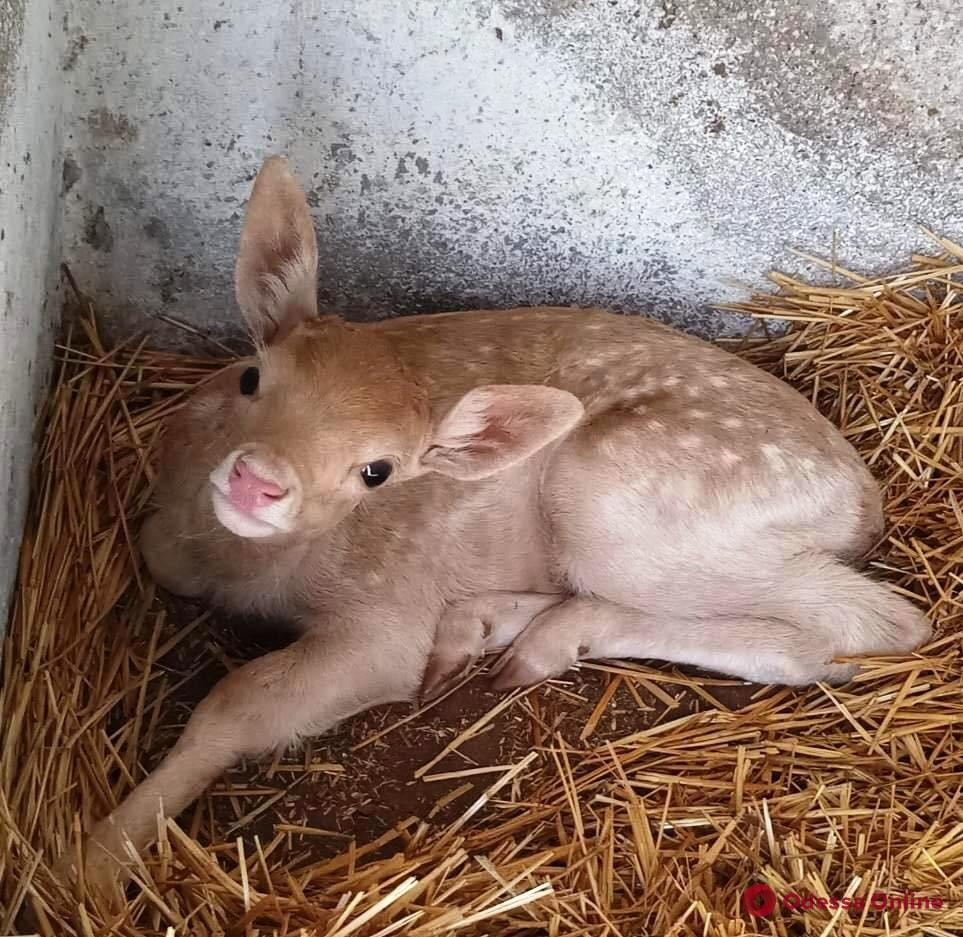 В Одесском зоопарке родились детеныши лани (фото)
