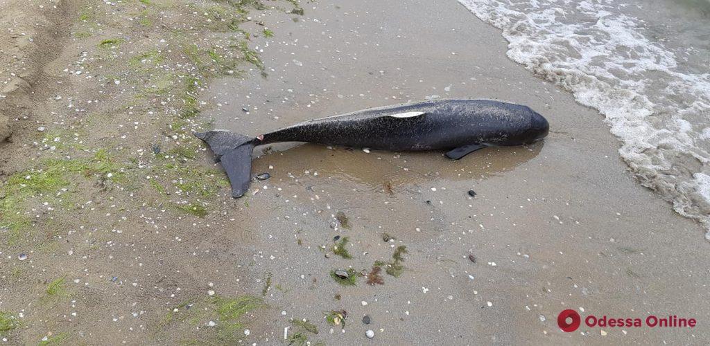 На одесский пляж выбросило мертвого дельфиненка