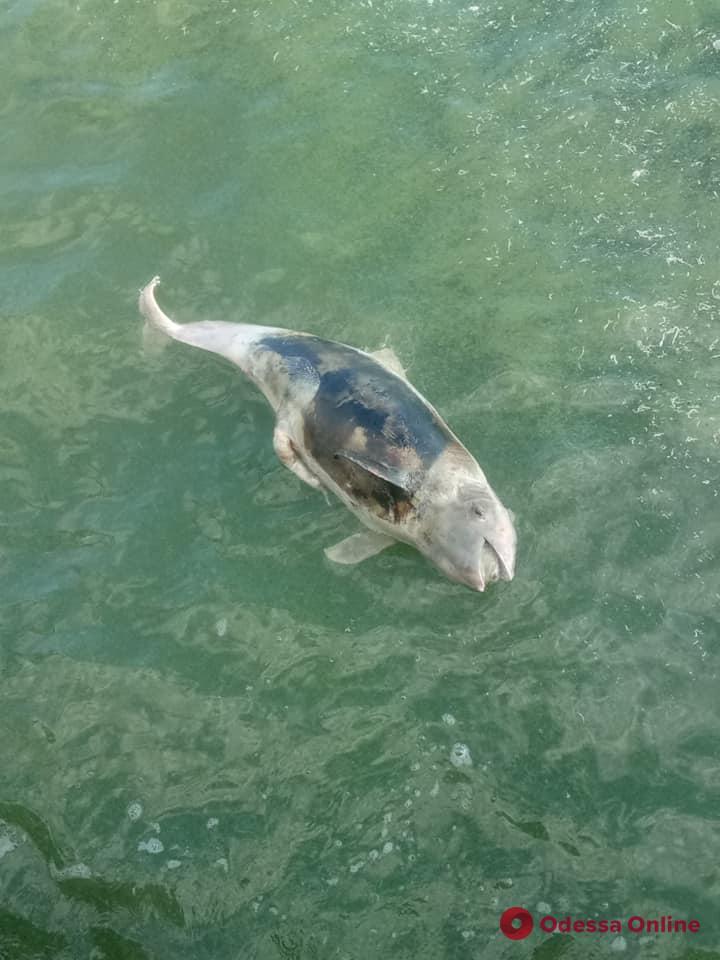 Биолог: гибель дельфинов не связана с цветением водорослей в Одесском заливе