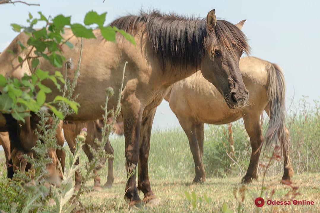 На остров в Одесской области завезли табун диких лошадей из Латвии (видео)