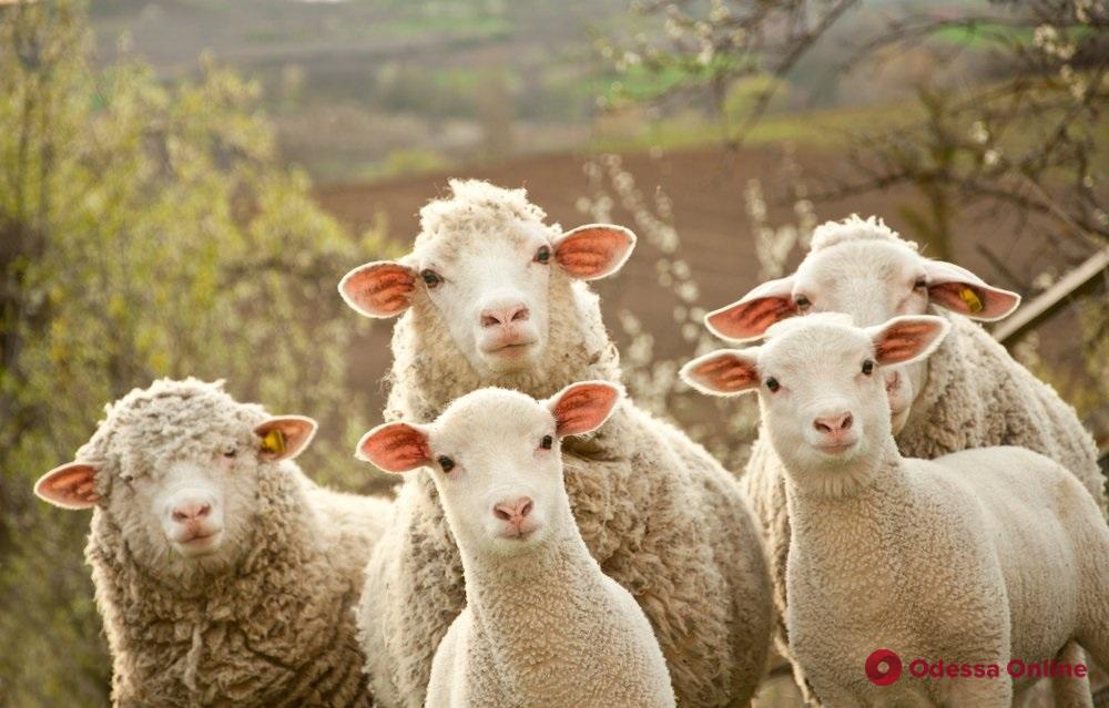 На юге Одесской области у фермера украли отару овец