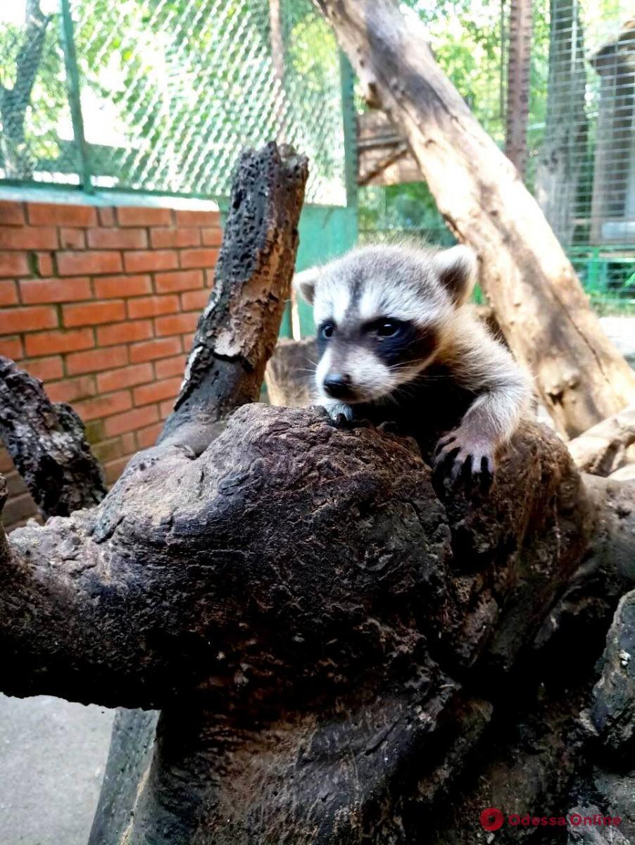 У пары енотов в Одесском зоопарке родился детеныш