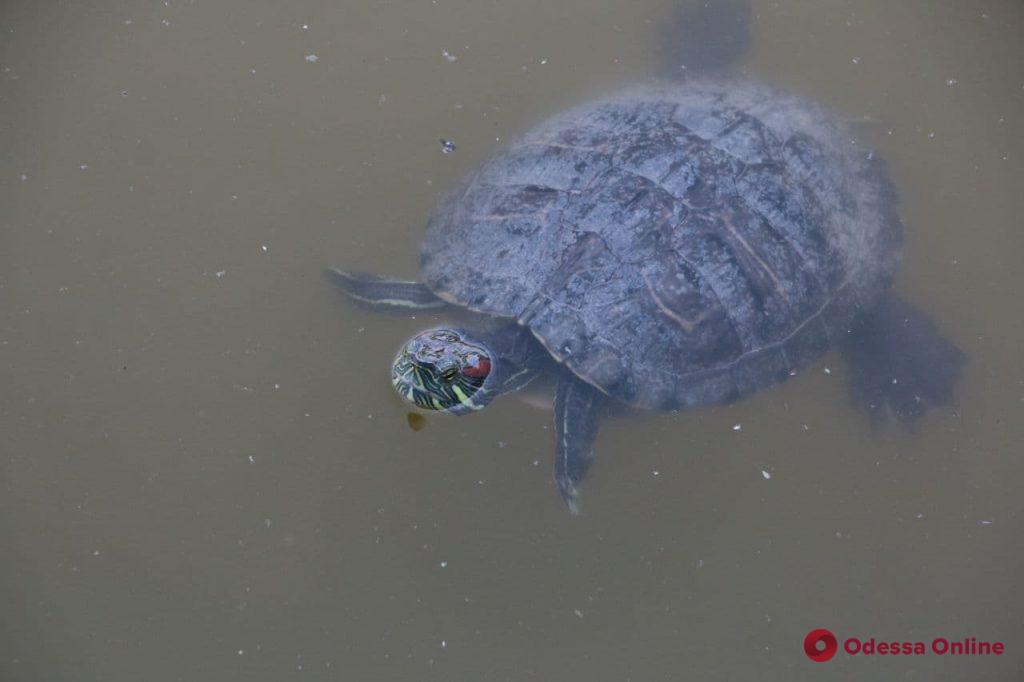 По парку Победы «разгуливают» черепахи (фото)