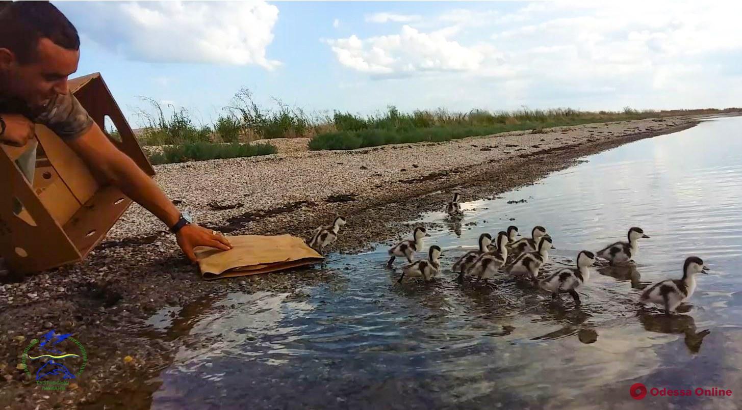 В «Тузловских лиманах» выпустили на волю спасенных диких утят