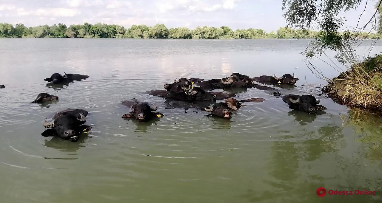 В Одесской области привезенная из Закарпатья водяная буйволица родила малыша