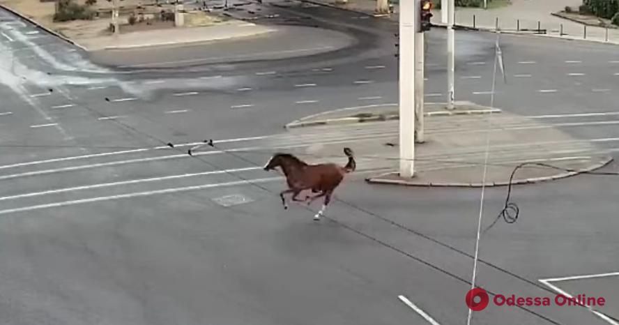 Быстрый как ветер: появилось подробное видео утренней прогулки вольнолюбивого коня по Фонтану